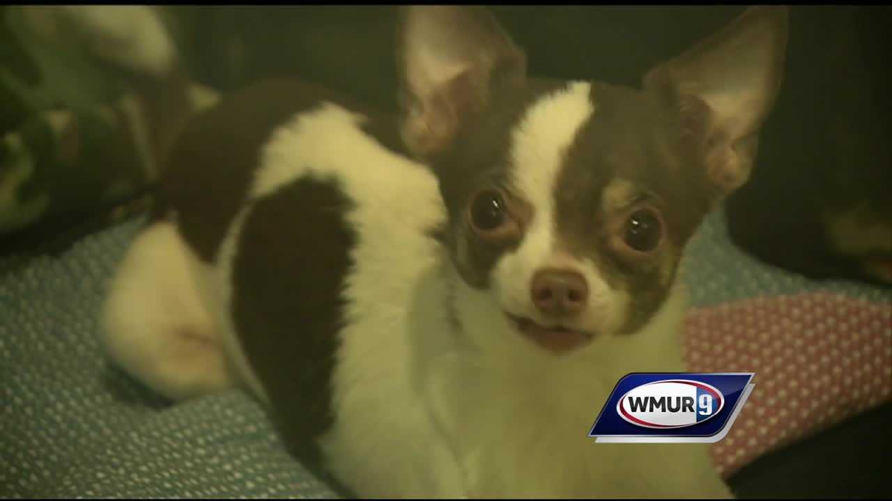 Rescued Chihuahua