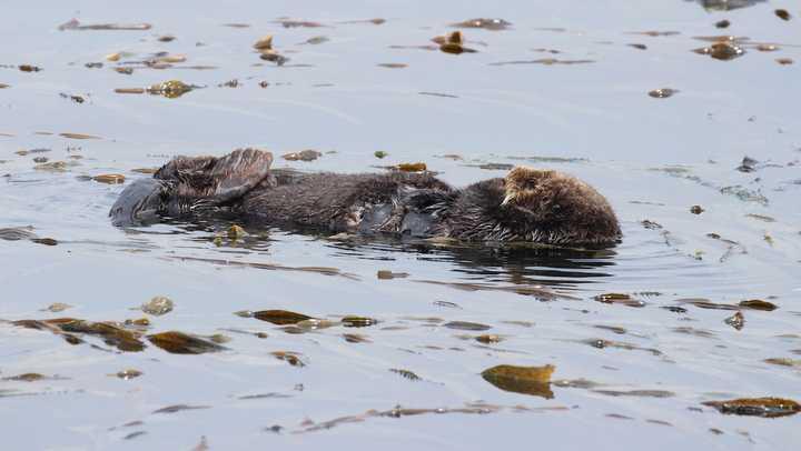 Sea Otter 741