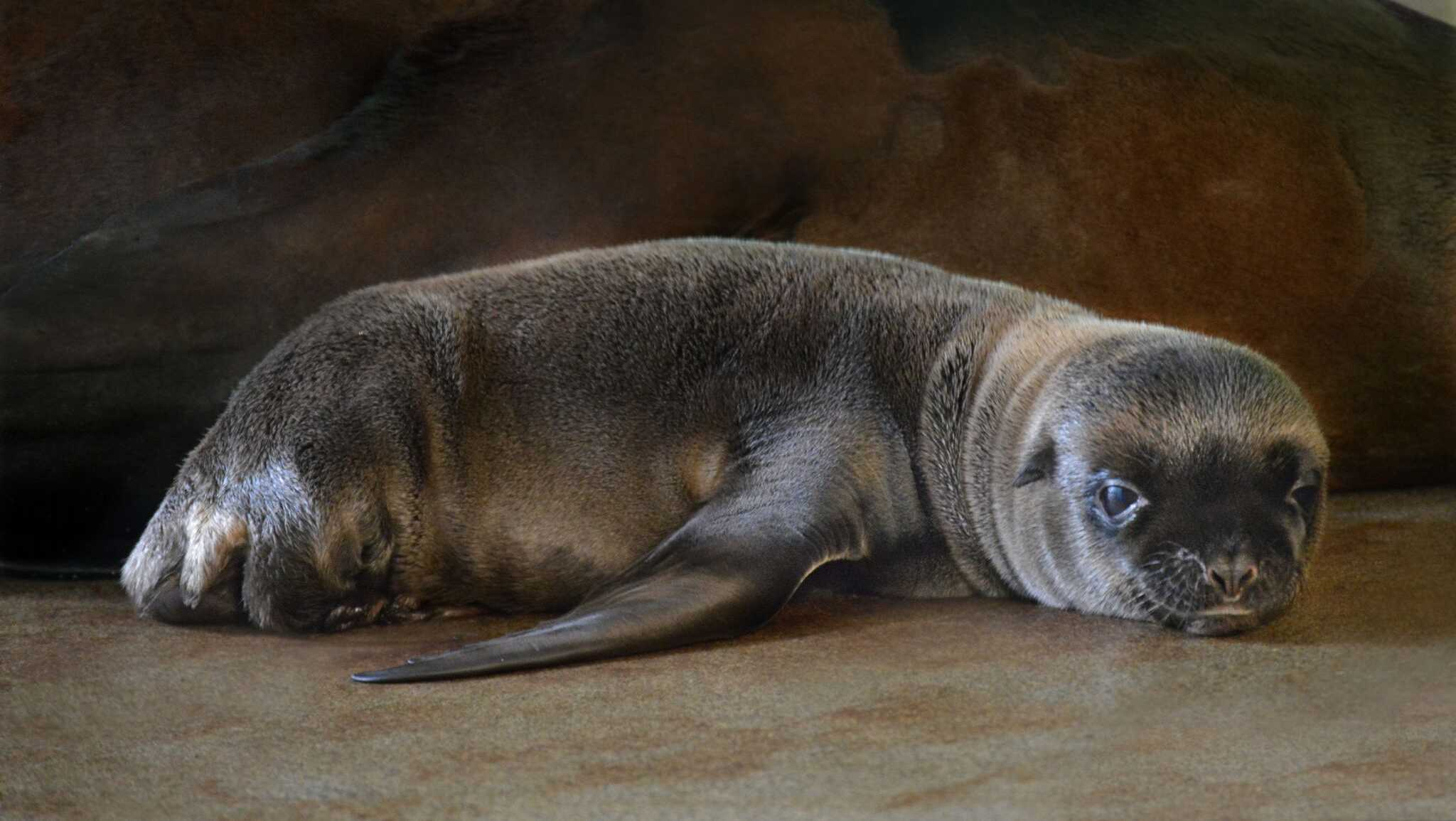 Ron, a week-old California sea lion pup, rests beside his mother, Tipper, a five-year-old sea lion, at the New England Aquarium's New Balance Foundation Marine Mammal Center.