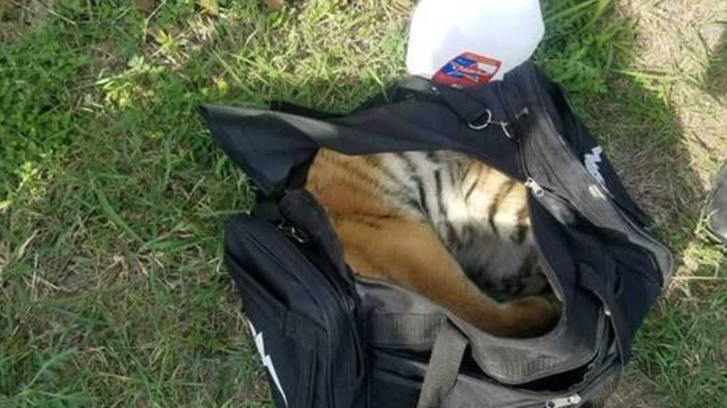 Tiger found in duffel bag