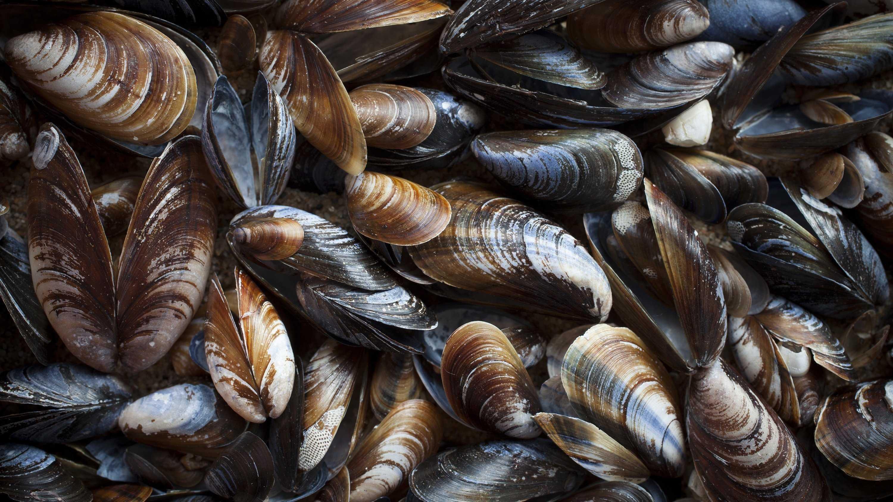 Mussels found in Washington inlet test positive for opioids, other drugs​