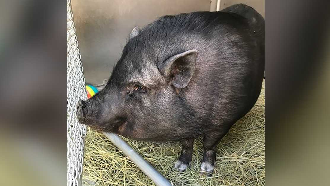 This pot-bellied pig was found in north Sacramento. The Front Street Animal Shelter said on Monday, July 3, 2017, that they hope to reunite the pig with her family.