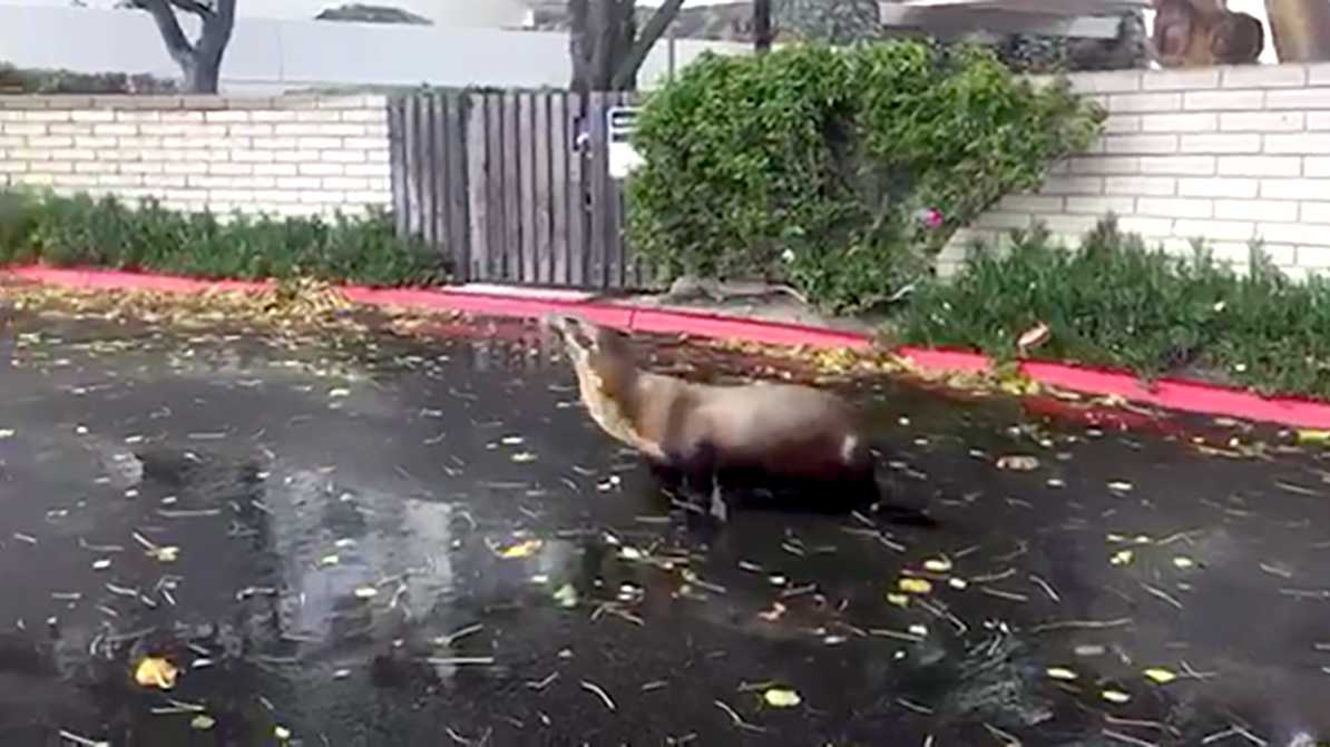 A sea lion pup was found Sunday, May 7, 2017, wandering through a San Diego neighborhood, NBC San Diego reported.
