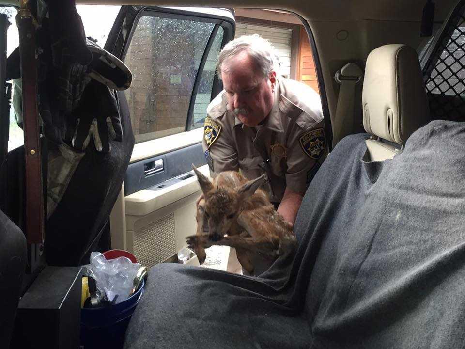California Highway Patrol officer rescues baby deer