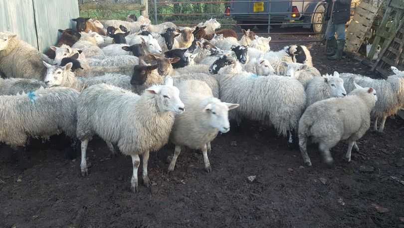 A flock of sheep police believe was stolen.