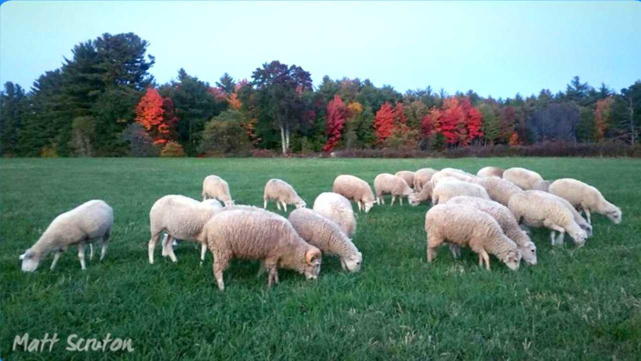 Sheep herding demonstration