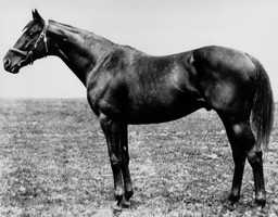 This is a 1919 photo of thoroughbred Sir Barton, winner of the 44th running of the Kentucky Derby at Churhill Downs on the first Saturday in May 1919.