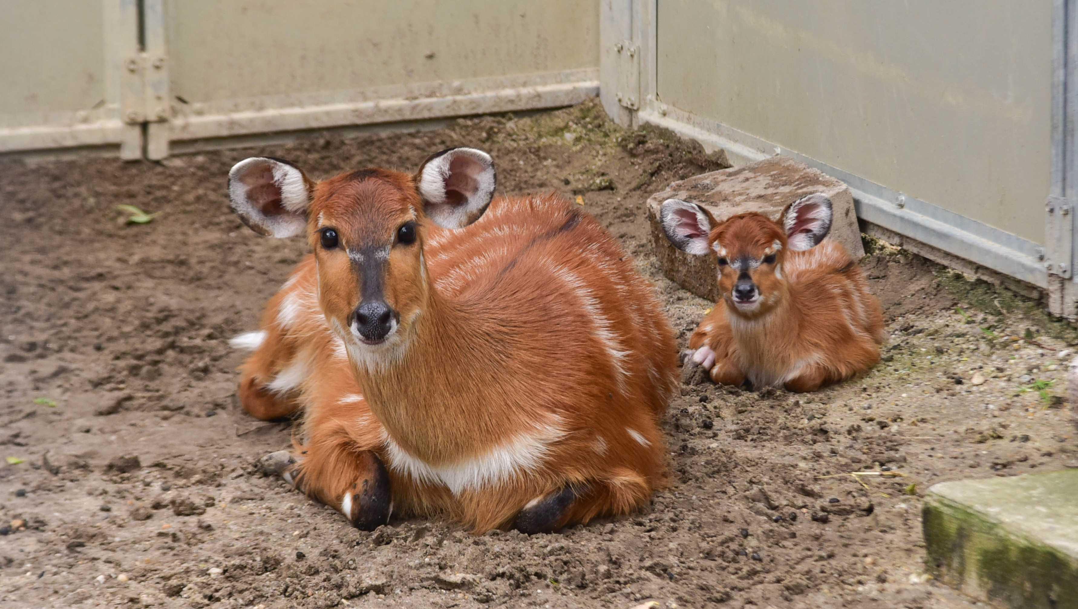 Sitatunga calf