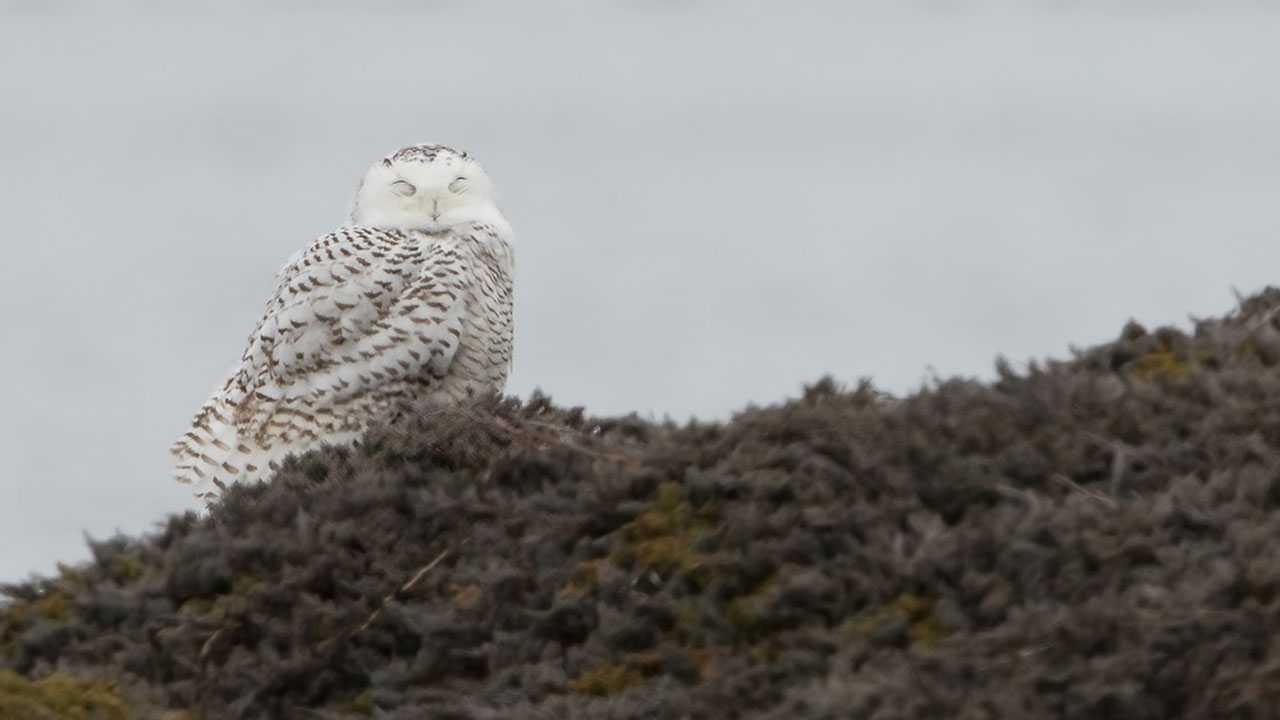 Snowy owl in Greenland
