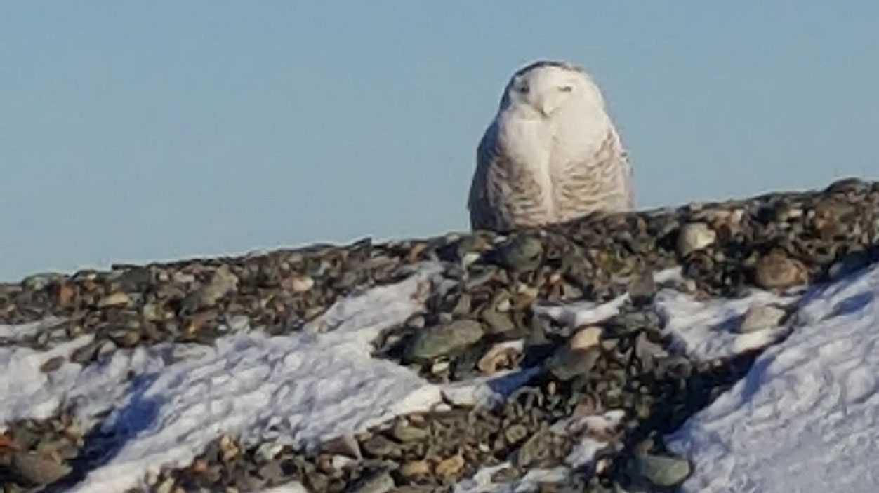 Snowy owl seen Jan. 8 in Rye