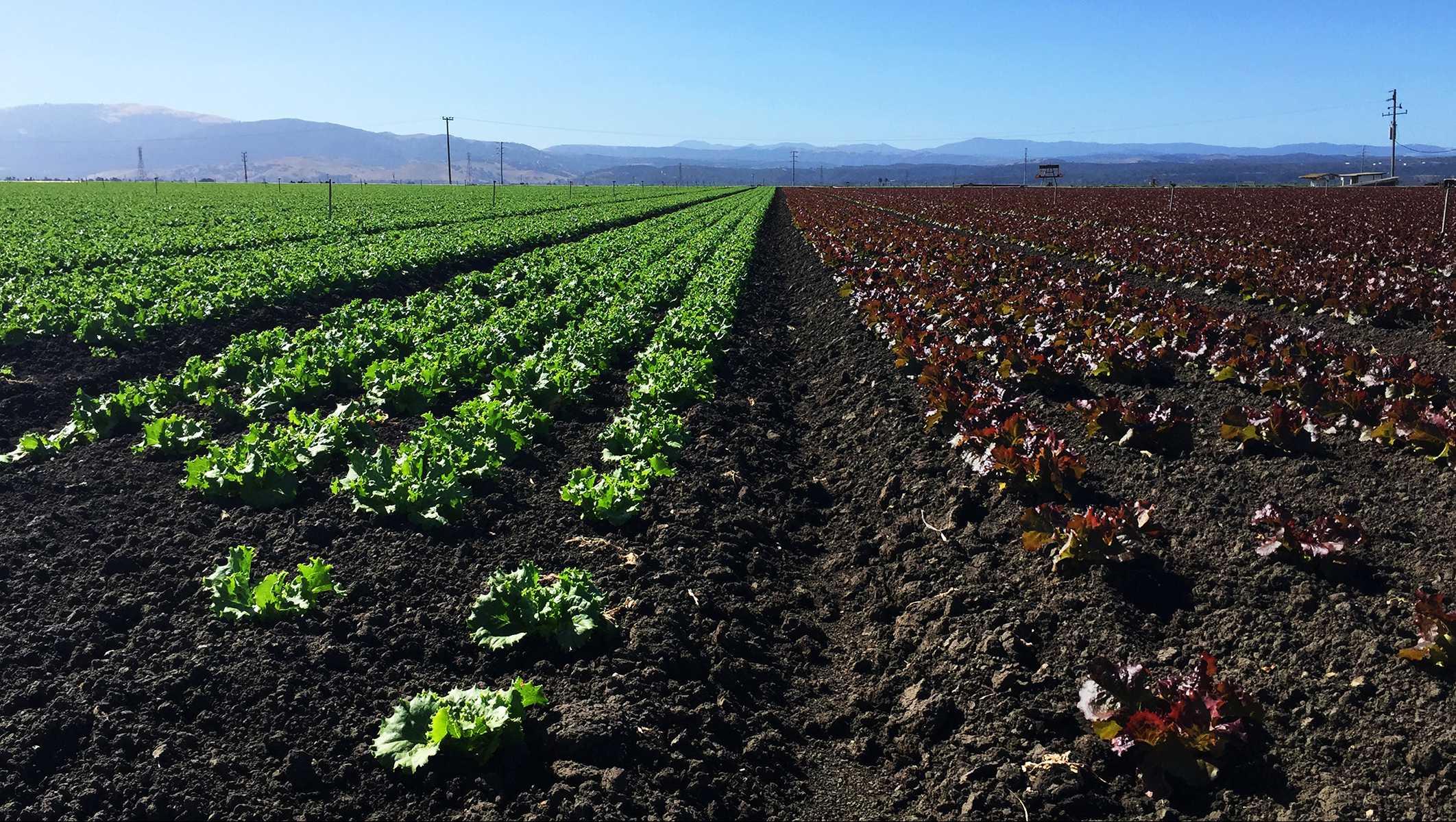 Salinas lettuce field