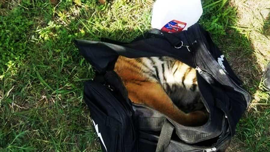 tiger cub abandoned