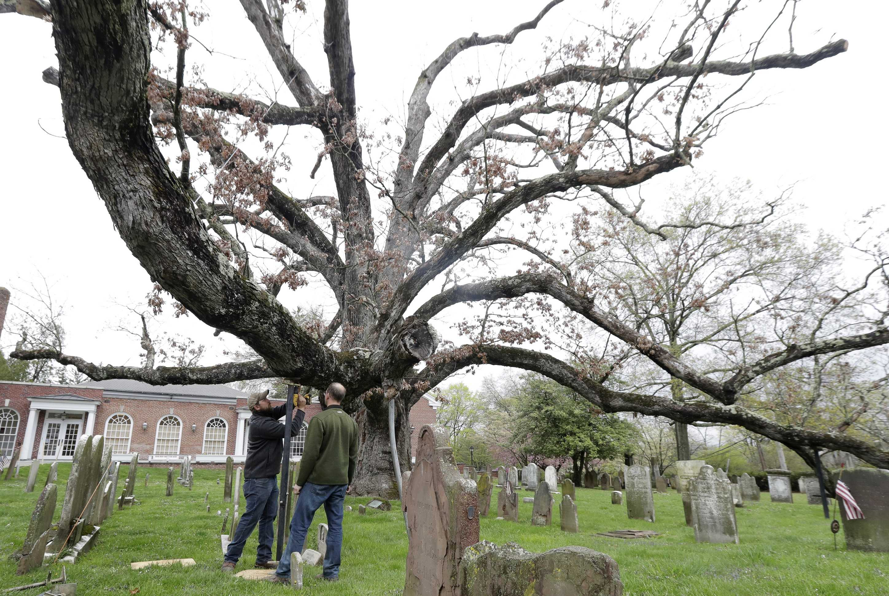 Beloved 600-year-old white oak tree takes final bow""