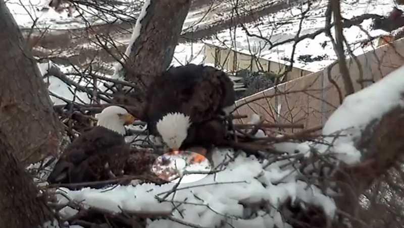 The Hays bald eagle nest