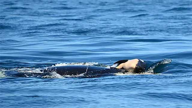 A mother whale has repeatedly retrieved the carcass of a deceased newborn calf