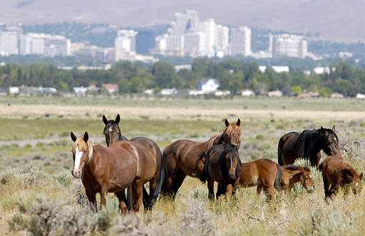 Trump budget would allow sale of wild horses for slaughter