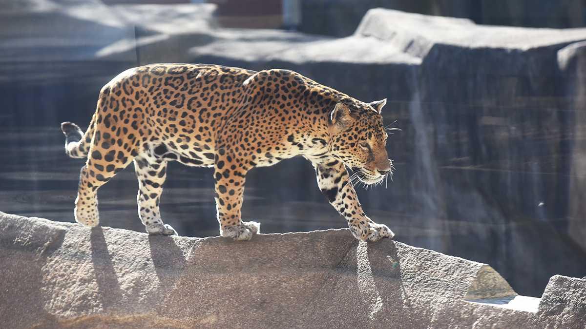 milwaukee county zoo jaguar passes away at 19. Black Bedroom Furniture Sets. Home Design Ideas