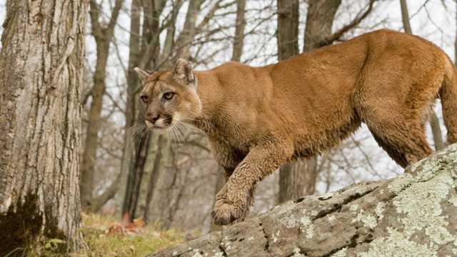 cougar, mountain lion in the woods