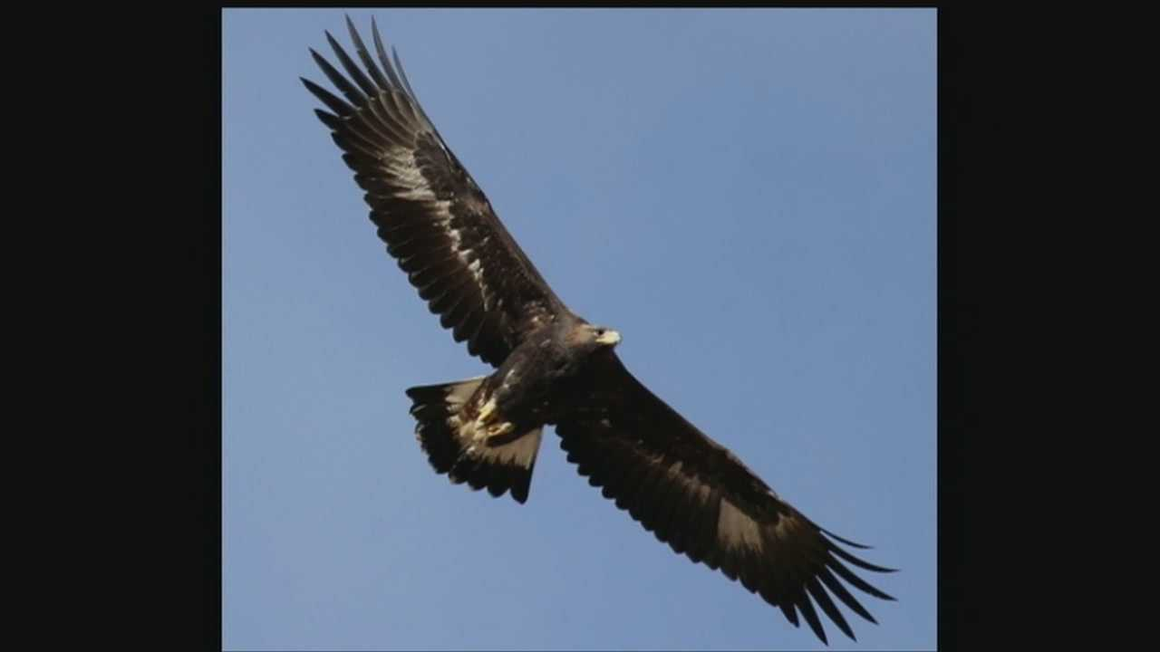 Last week, authorities found a golden eagle shot, and now a search is underway for the person who killed the majestic bird.