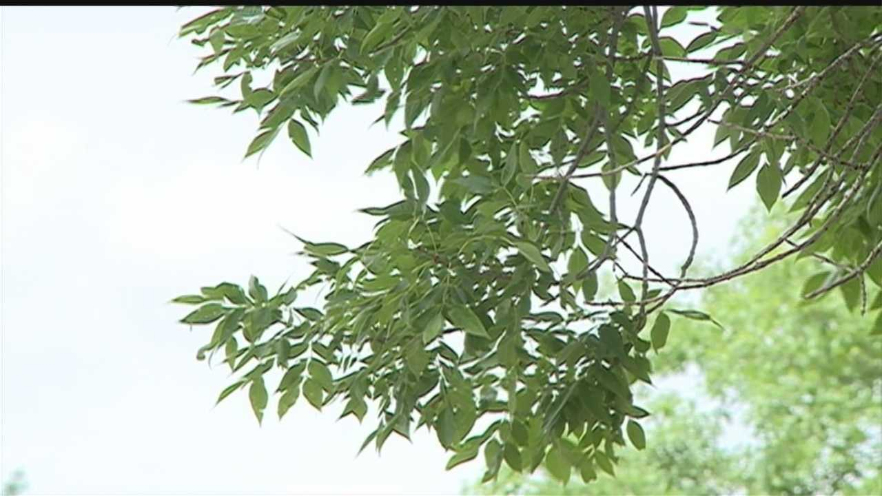 The city of Omaha is counting how many trees will die or have come down because of the emerald ash borer.