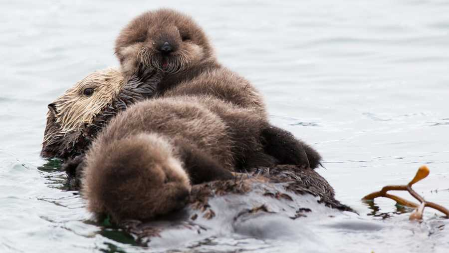 court upholds ending no sea otter zone on california coast