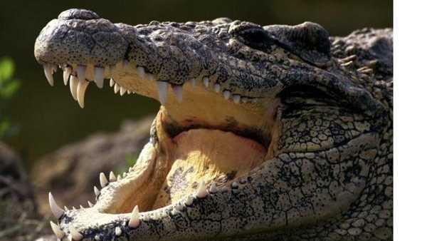 Crocodile bite wound - photo#8