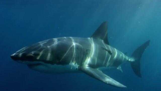 What Ate A 9-Foot Great White Shark?