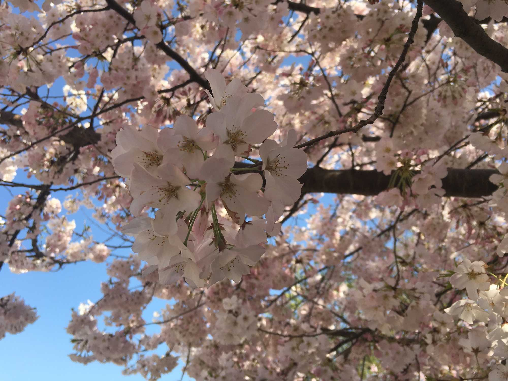 DC's Cherry Blossoms Expected To Hit Peak Bloom March 17-20