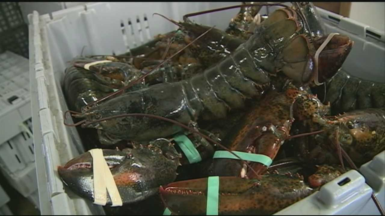Scientist: Baby lobster count drops off US coast, Canada