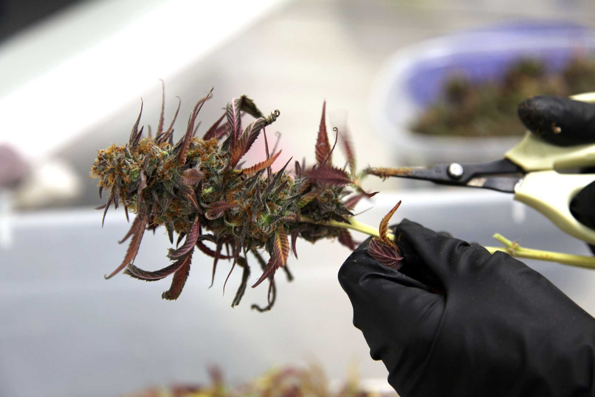 Groundbreaking medical pot case allowed to move forward