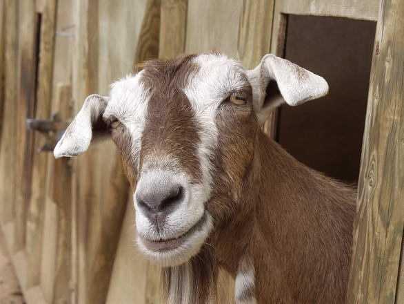 Police hunt for killer of baby goats left on owner's steps