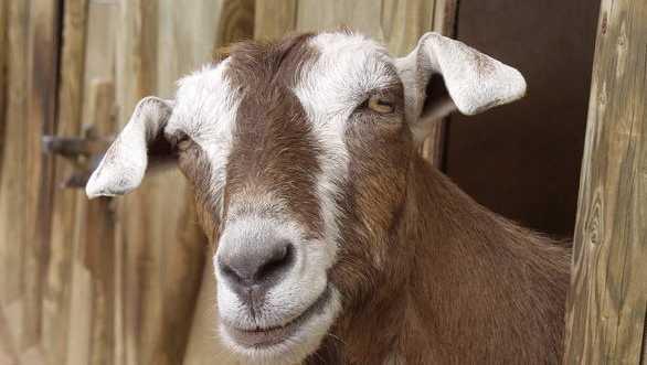 goat, generic