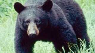 Black bears are listed as endangered species in Mississippi.
