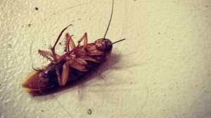 A cockroach will live nine days without its head, before it starves to death. Some say a cockroach can live weeks without its head.