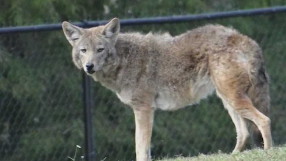 An Anderson Township neighborhood is on high alert after Coyotes attacked and killed a small dog. According to sheriff's deputies the Coyote population is on the rise in Anderson Township.