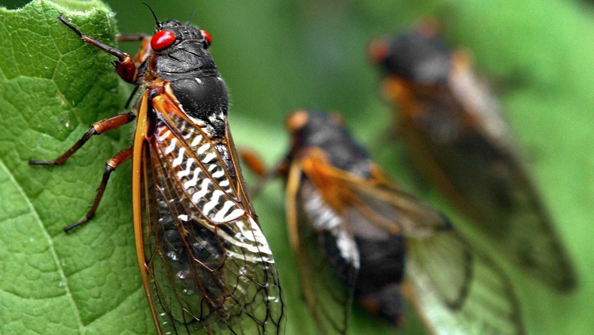 Cicadas on leaf, Annandale, Virginia