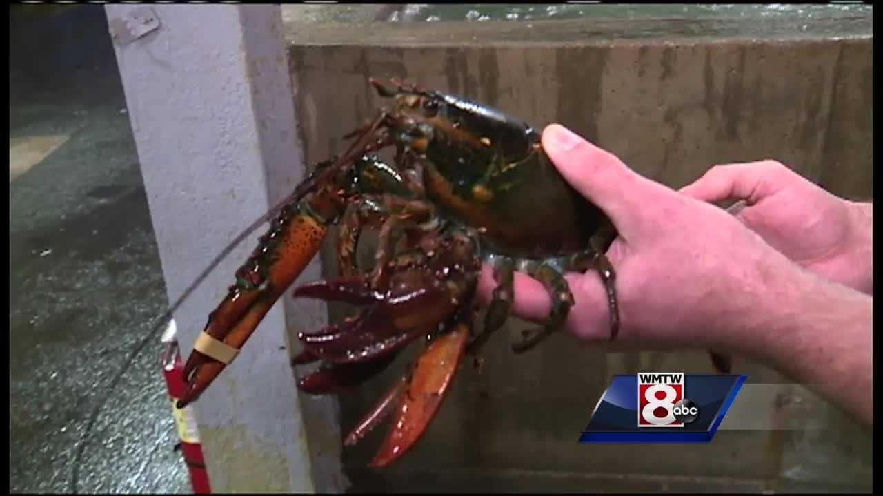 Lobster with four claws being sent to Maine State Aquarium in Portland