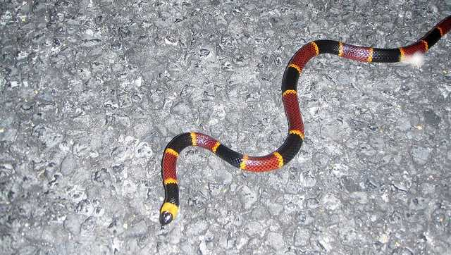 File photo of coral snake
