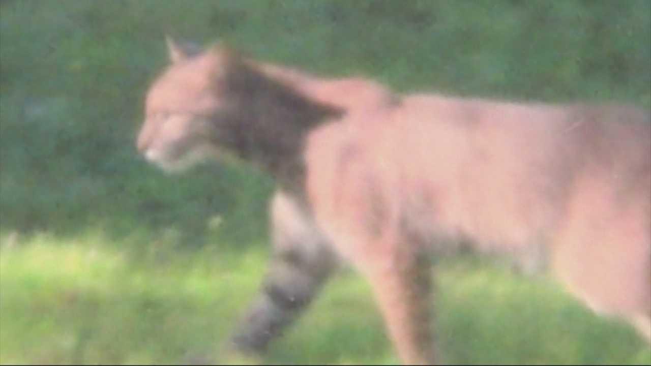backyard bobcat caught on camera in massachusetts