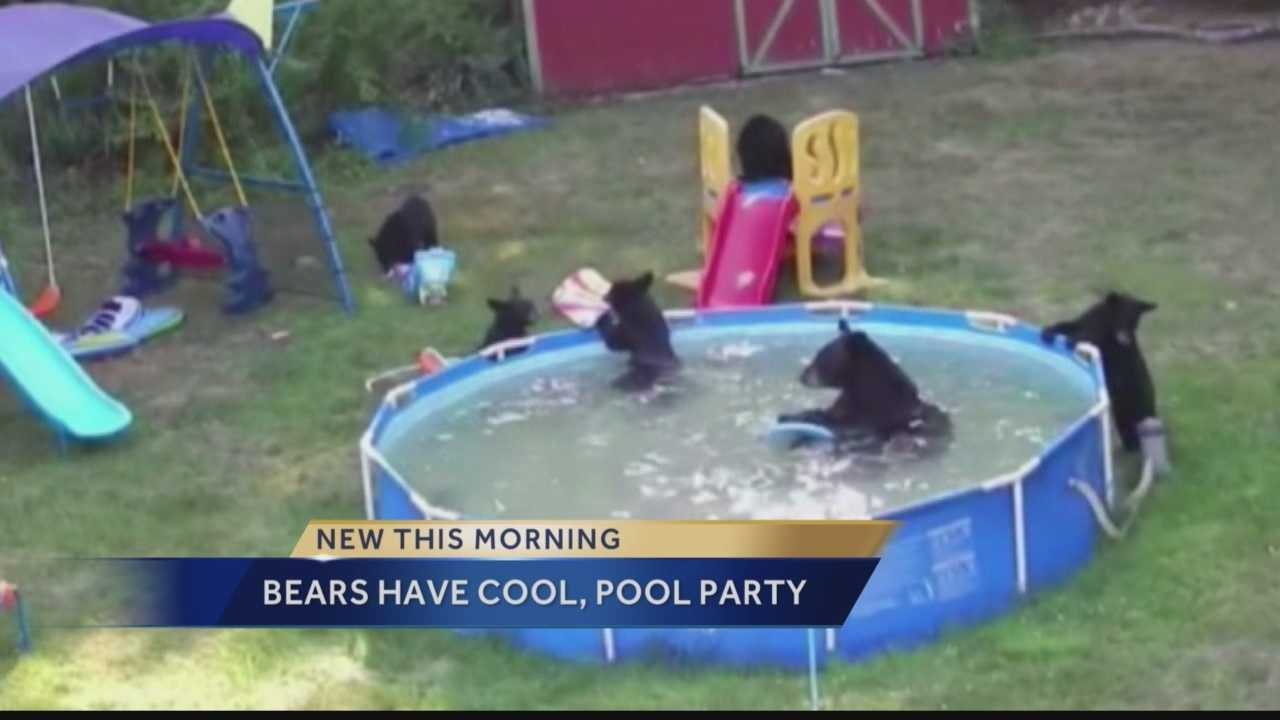 family of bears invade backyard pool