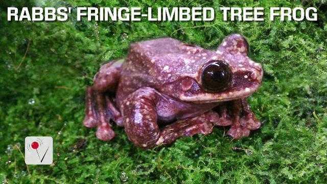 Rare Tree Frog Species Likely Extinct